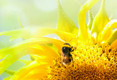 Bij op de bloem in de zonnebloem Stock Foto's