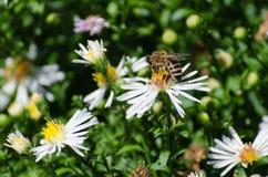 Bij op de bloem Honing royalty-vrije stock foto