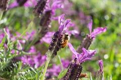 Bij op de Bloem van de Lavendel Stock Afbeeldingen