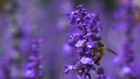 Bij op de Bloem van de Lavendel stock footage