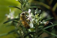 Bij op de bloem van Rosemary Royalty-vrije Stock Foto's