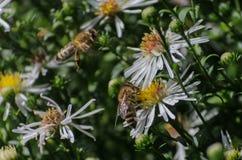Bij op de bloemen nectar royalty-vrije stock afbeeldingen