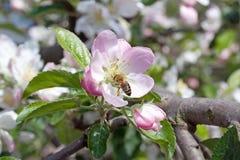 Bij op de bomen van een bloemappel Stock Foto's