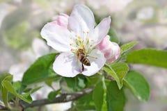 Bij op de bomen van een bloemappel Royalty-vrije Stock Foto's