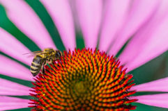 Bij op de echinaceabloem in de zomer Royalty-vrije Stock Foto's