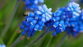 Bij op de Muscari-bloem stock video
