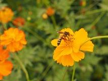 Bij op de oranje bloem Royalty-vrije Stock Foto's