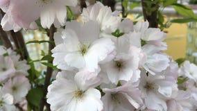 Bij op de tak van witte bloemen stock footage