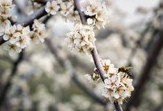 Bij op een bloeiende abrikozenboom Stock Fotografie