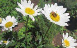 Bij op een bloem royalty-vrije stock afbeeldingen