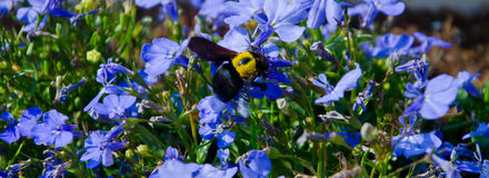 Bij op een bloem Stock Fotografie
