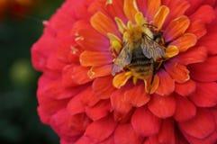 Bij op een bloem Royalty-vrije Stock Foto's