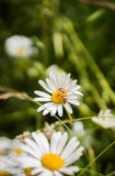 Bij op een bloem Royalty-vrije Stock Foto