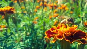 Bij op een bloem Royalty-vrije Stock Afbeelding
