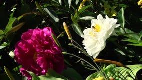 Bij op een bloem in de botanische tuin stock videobeelden