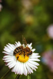 Bij op een bloem die stuifmeel verzamelen royalty-vrije stock foto's
