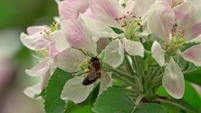 Bij op een bloem stock footage
