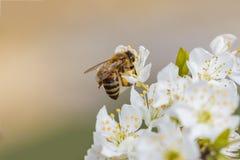 Bij op een de lentebloem die stuifmeel verzamelen royalty-vrije stock foto