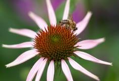 Bij op een Echinacea-bloem van de purpurea purpere kegel in een tuin in su Royalty-vrije Stock Afbeelding