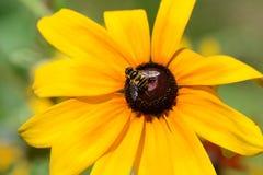 Bij op een gele bloem Royalty-vrije Stock Afbeelding