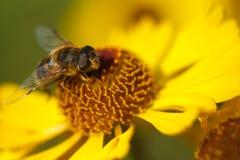 Bij op een gele bloem Royalty-vrije Stock Fotografie