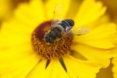 Bij op een gele bloem Royalty-vrije Stock Foto