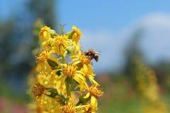 Bij op een gele bloem Stock Afbeelding