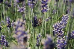 Bij op een lavendel Royalty-vrije Stock Foto