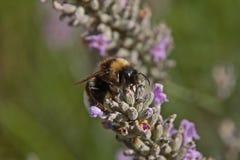 Bij op een lavendelbloem royalty-vrije stock foto