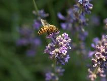 Bij op een lavendelbloem Royalty-vrije Stock Afbeeldingen