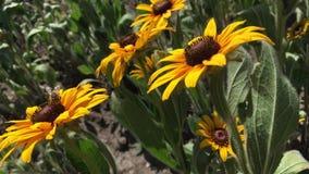 Bij op een mooie zonnebloembloemen in clearinga stock videobeelden