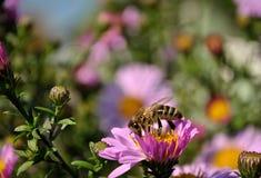 Bij op een purpere bloem Stock Fotografie