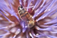 Bij op een purpere bloem van Cynara-cardunculusinstallatie stock foto