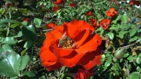 Bij op een rode bloem stock footage