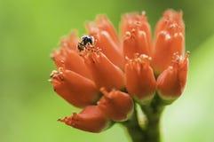 Bij op een rode bloem. royalty-vrije stock foto's