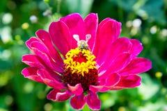 Bij op een rode bloem Stock Afbeeldingen