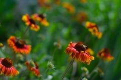 Bij op een rode bloem Royalty-vrije Stock Fotografie