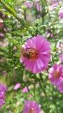 Bij op een roze bloem Stock Foto