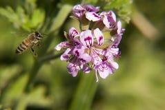Bij op een wilde bloem Royalty-vrije Stock Foto's