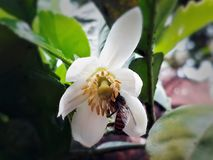 Bij op een witte bloem Stock Afbeeldingen