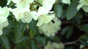 Bij op een witte rododendron Stock Afbeeldingen