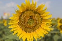 Bij op een zonnebloem Royalty-vrije Stock Fotografie