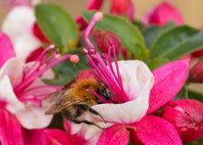 Bij op Fuchsia Royalty-vrije Stock Afbeelding