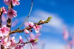 Bij op gecultiveerde die gebieden van perzikbomen met fungiciden worden behandeld stock afbeelding