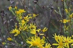 Bij op geel gebied camomiles, stock foto's