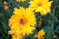 Bij op gele bloem Royalty-vrije Stock Foto