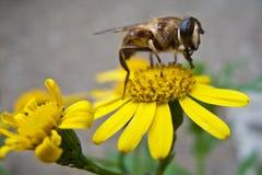 Bij op gele bloem Stock Foto's