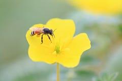 Bij op gele bloem stock foto