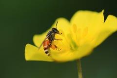 Bij op gele bloem royalty-vrije stock afbeeldingen