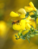 Bij op gele bloem Royalty-vrije Stock Foto's